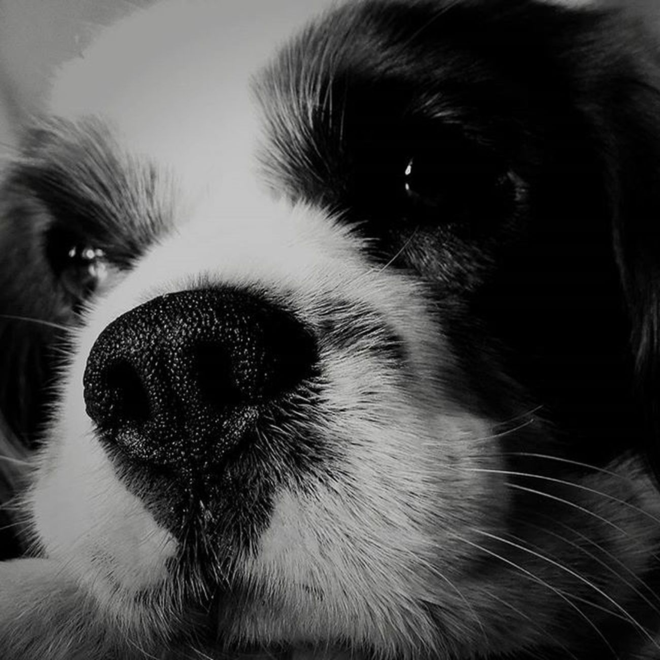 Chi non ti tradira' mai....Joey Dog_of_instagram Dogsofinstagram Cavalierkingcharlesspaniel Ck  Ckcs Amoremio Ilmiobimbopeloso Amoredellamamma Estateinsieme