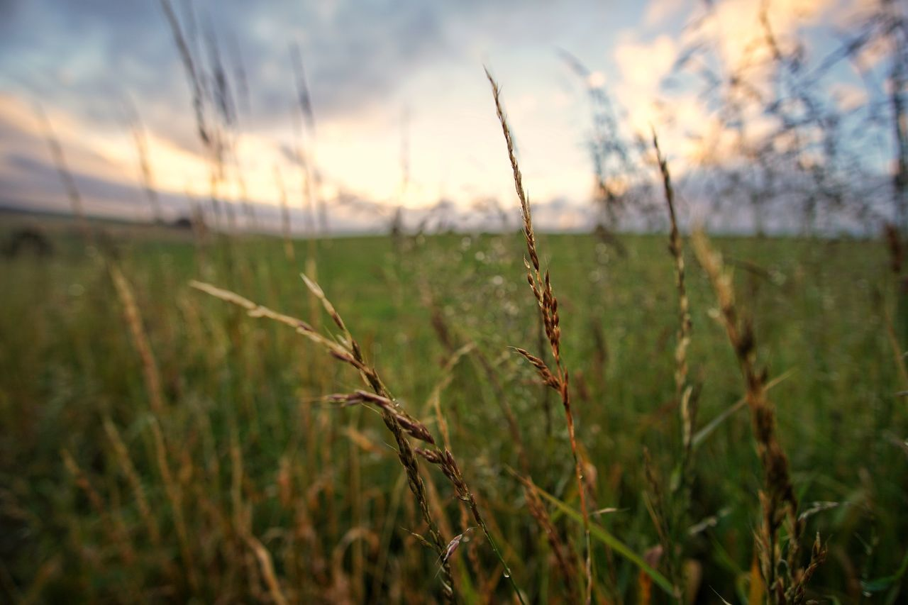 growth, nature, field, grass, agriculture, tranquility, beauty in nature, crop, plant, cereal plant, outdoors, no people, focus on foreground, tranquil scene, rural scene, green color, landscape, day, close-up, wheat, ear of wheat, sunset, scenics, sky