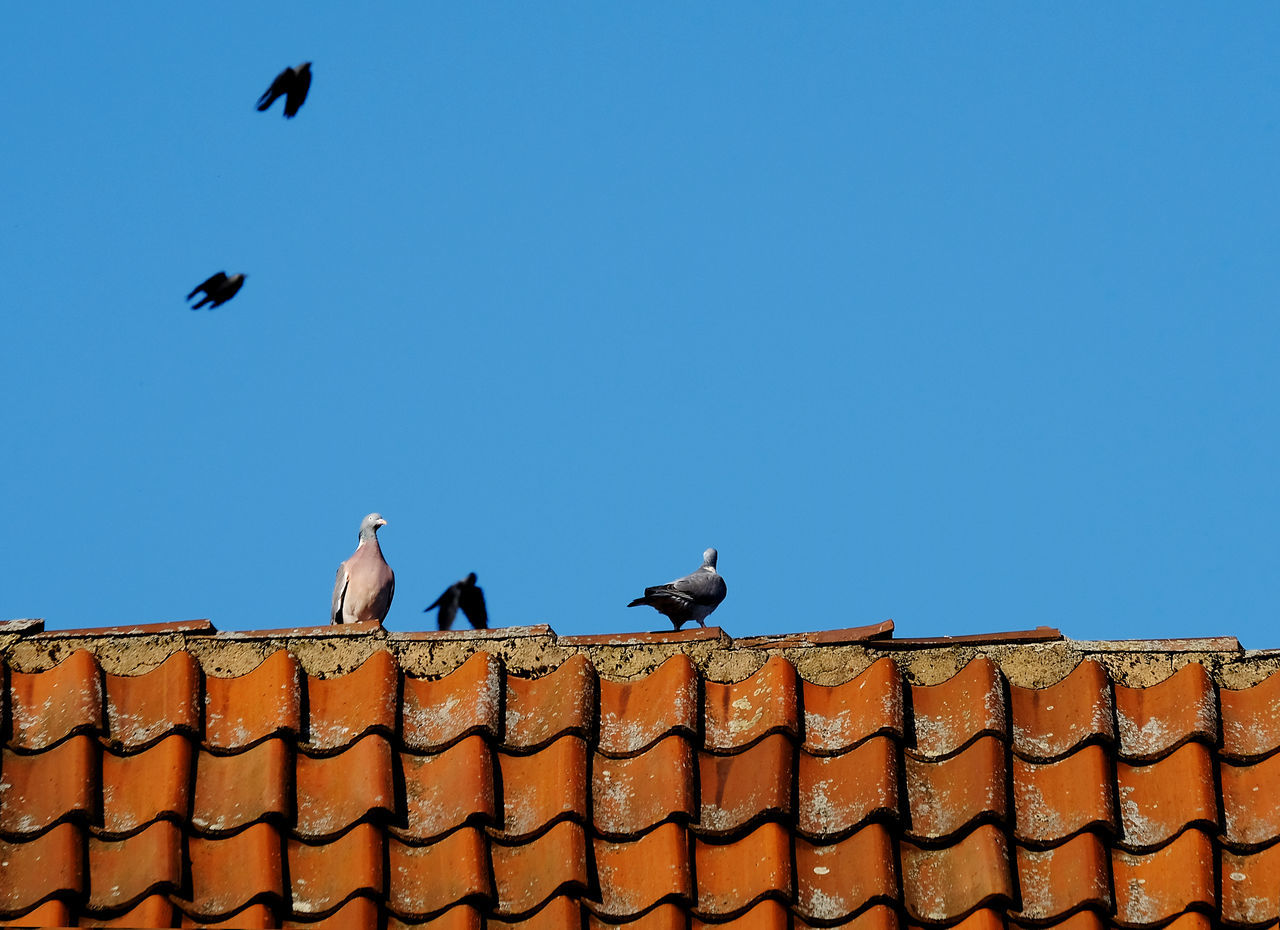 Animal Themes Animals In The Wild Architecture Bird Birds Flying Building Exterior Built Structure Clear Sky Day Low Angle View Nature No People Old Rooftop Outdoors Perching Roof Tiles Rooftop Togetherness Two Doves Sitting On A Red Rooftop