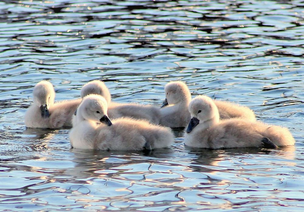 Swans Swan Series EyeEm Gallery Animal Themes Swans Swimming Swans Of Eyeem Fiord EyeEm Nature Lover Birds_collection Our Best Pics EyeEm Best Shots Fresh On Eyeem  Beauty In Nature Premium Collection