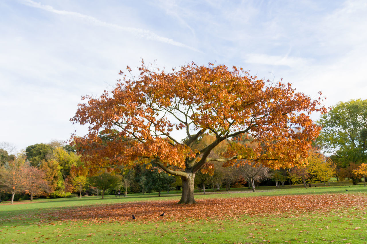 autumn, tree, change, nature, leaf, sky, tranquility, beauty in nature, growth, field, day, no people, outdoors, scenics, landscape, grass, maple