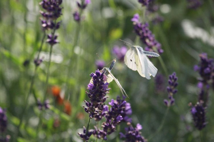 Animal Themes Animals In The Wild Beauty In Nature Blooming Butterflies Butterfly Breeding Close-up Day Flower Flower Head Focus On Foreground Fragility Freshness Growth Insect Lavender Love Is In The Air Nature No People One Animal Outdoors Plant Pollination Purple