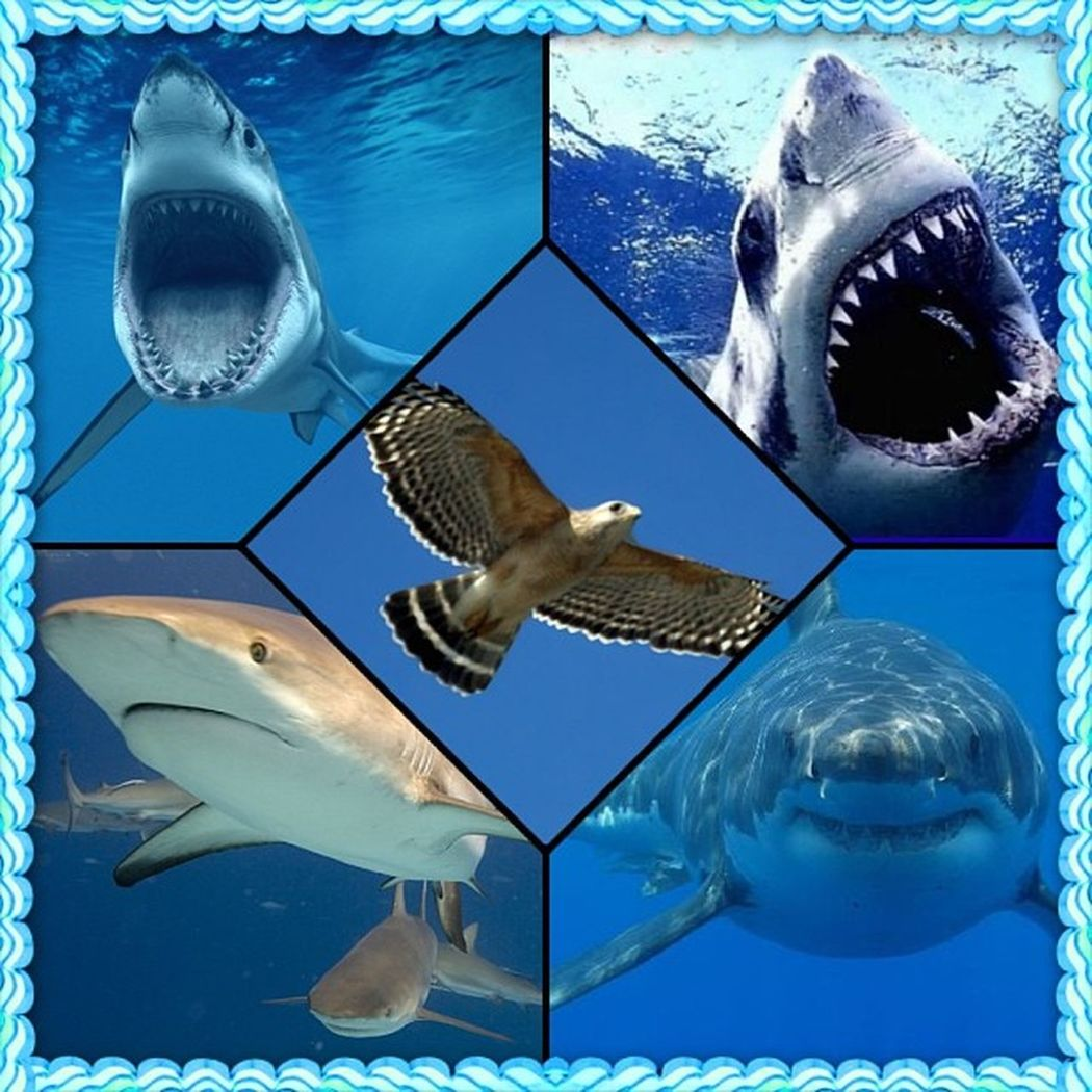 My latest obsessions 🌊☁ Sharks Hawks Imaweirdo Simplybeingalice bored foreveralone someone take me to the aquarium or on a nature hike oc caligirl no life