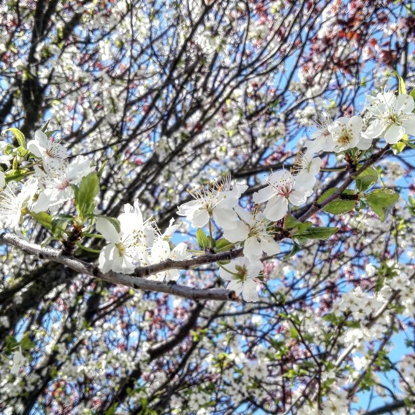 Tree Branch Blossom Flower Beauty In Nature Springtime Nature Cherry Tree Low Angle View White Color Day Plum Blossom Scenics Bluesky Skyblue Sunny Day Tree Sky Nature Plant Beauty In Nature Beautyinnature  Mothernature Flowers Flowertree The Great Outdoors - 2017 EyeEm Awards