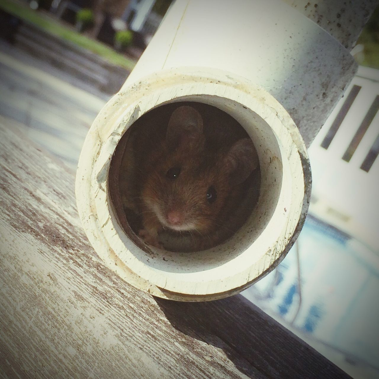 Mouse Field Mouse Hide And Seek Pipe Mouse In Pipe One Animal Close-up Looking At Camera Peeking Focus On Foreground Country Life English Countryside Cute