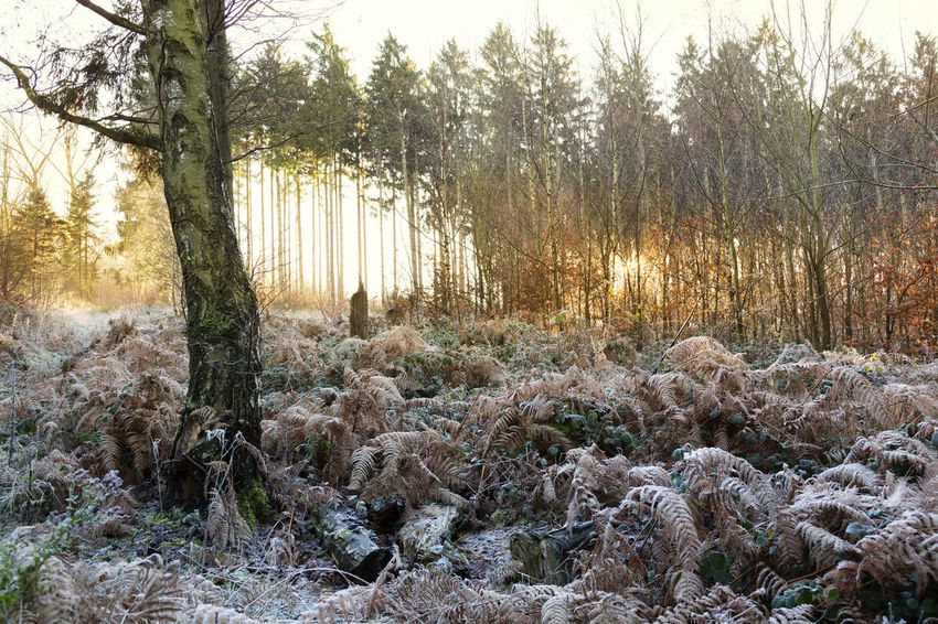 winter in the woods sun is rising Frost Frozen Hoarfrost Light Nature Nature Photography Winter Fir Trees Naturelovers No People Non-urban Scene Sunrise Woods