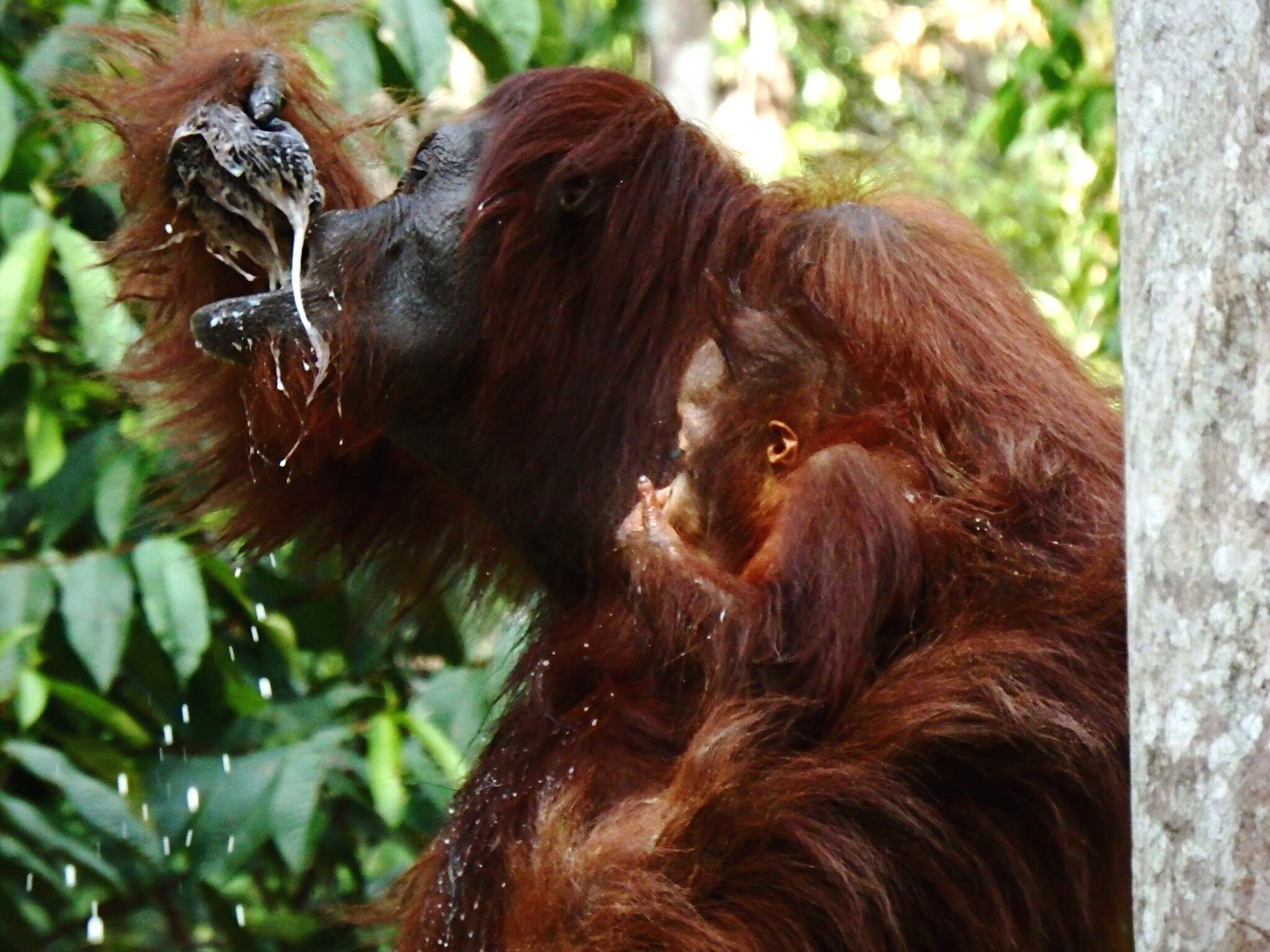 Orangutan Animal Themes Animals In The Wild Animal Wildlife Nature Outdoors Borneo