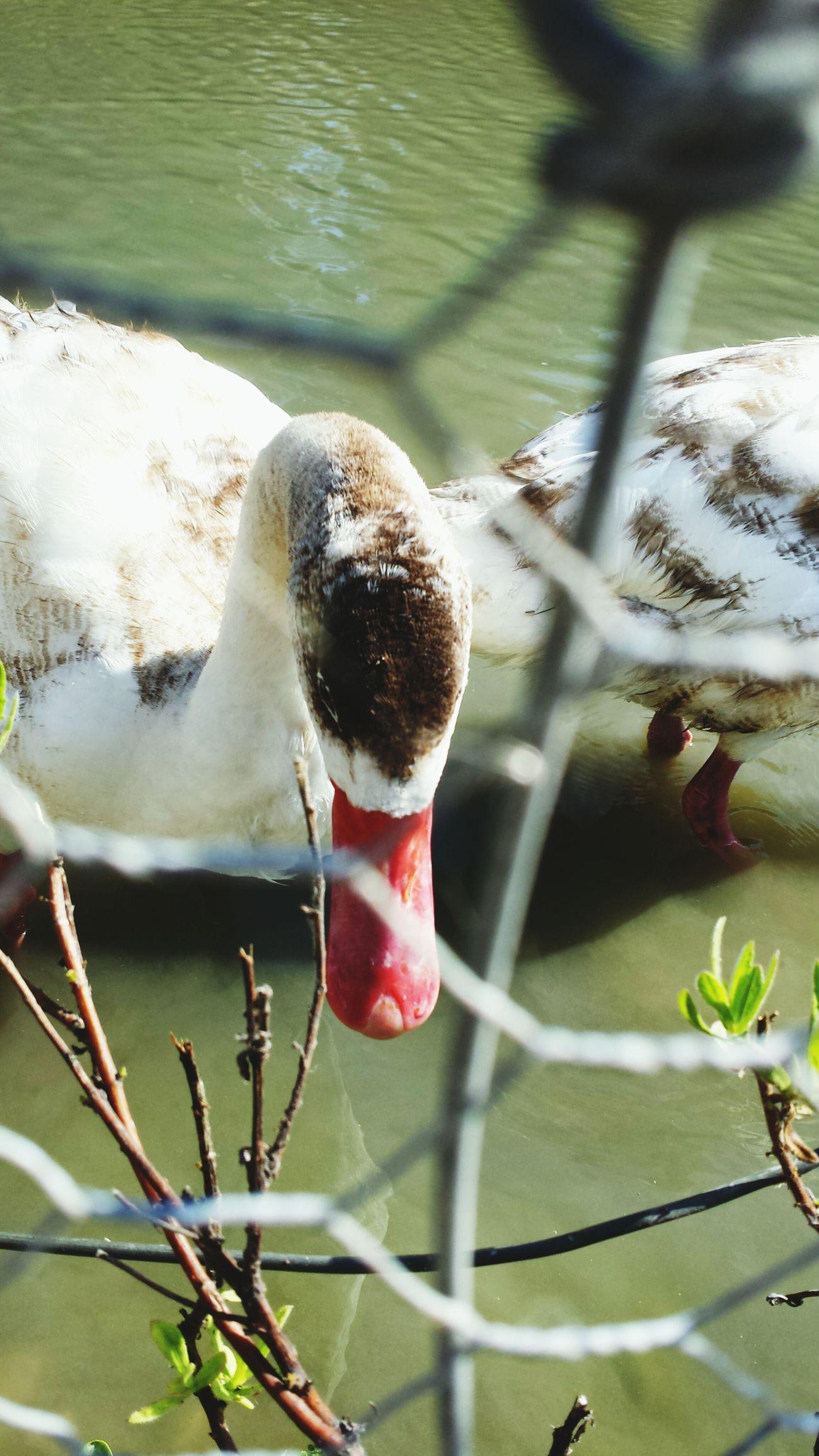 Taking Photos Duck Koi Park Por Aí...