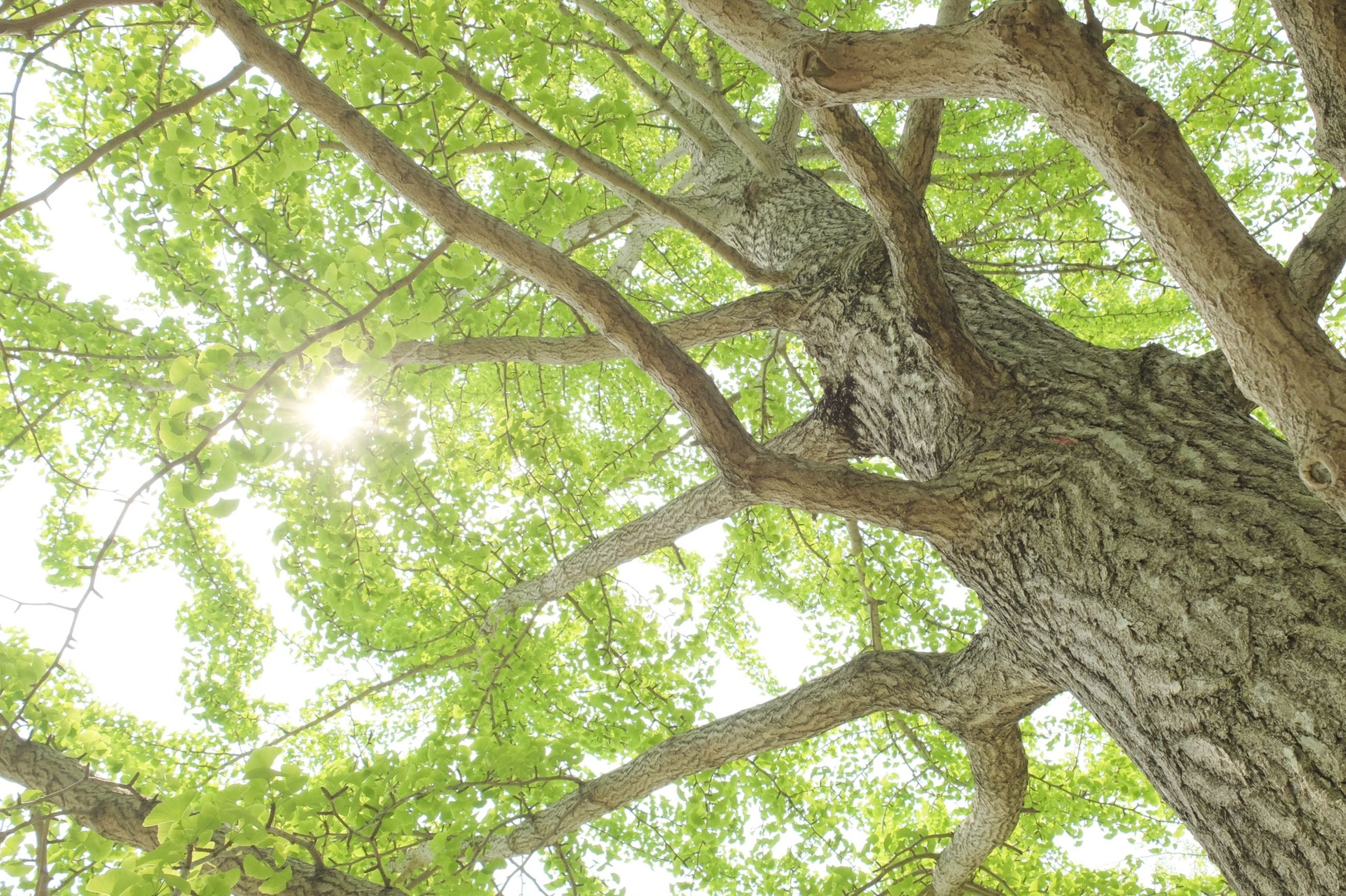 tree, low angle view, branch, sun, growth, tree trunk, sunlight, nature, sunbeam, tranquility, lens flare, green color, beauty in nature, day, leaf, forest, outdoors, sunny, no people, sky