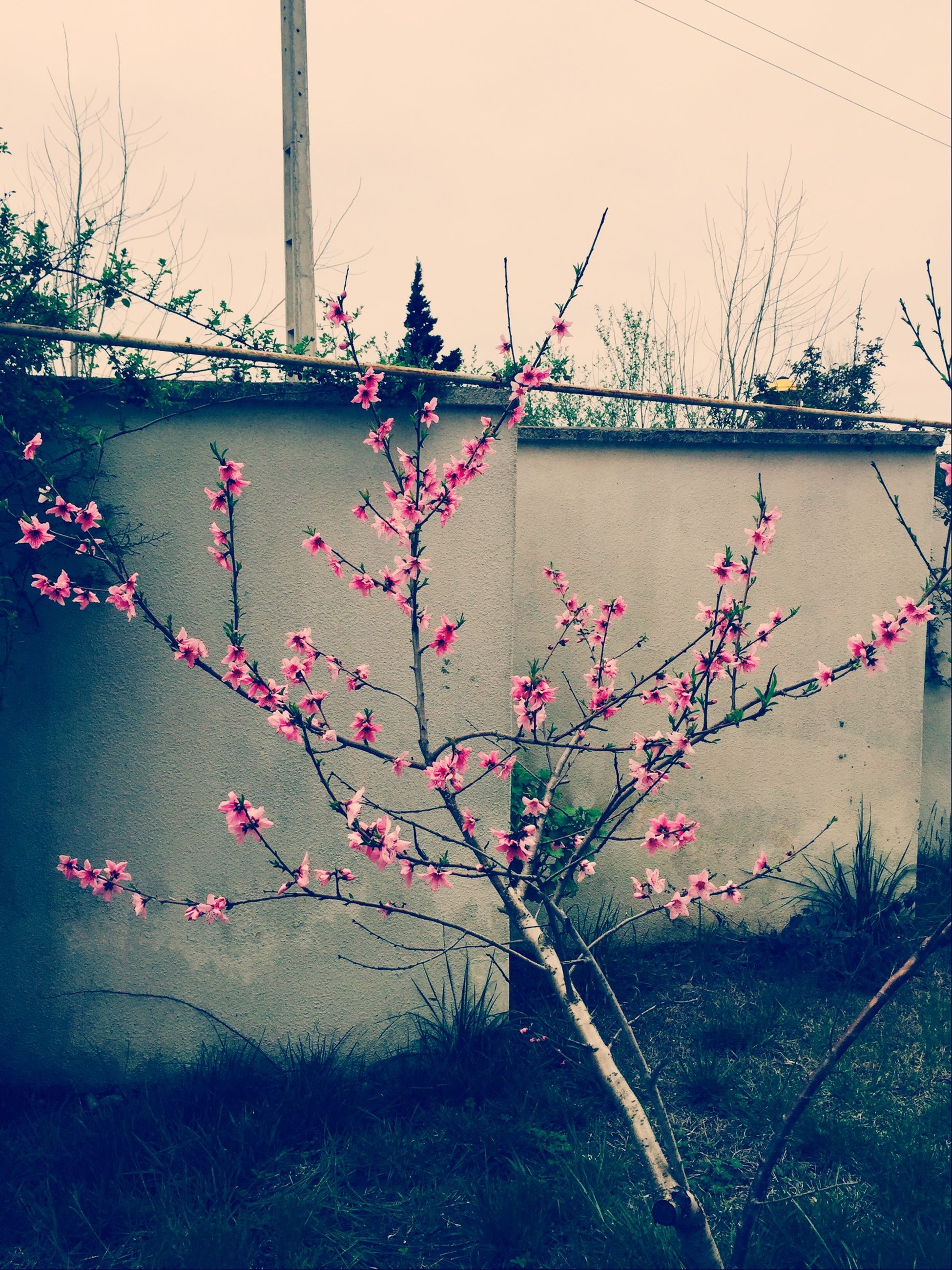 flower, pink color, built structure, plant, growth, architecture, wall - building feature, fragility, sky, nature, day, freshness, no people, building exterior, outdoors, tree, clear sky, fence, branch, hanging