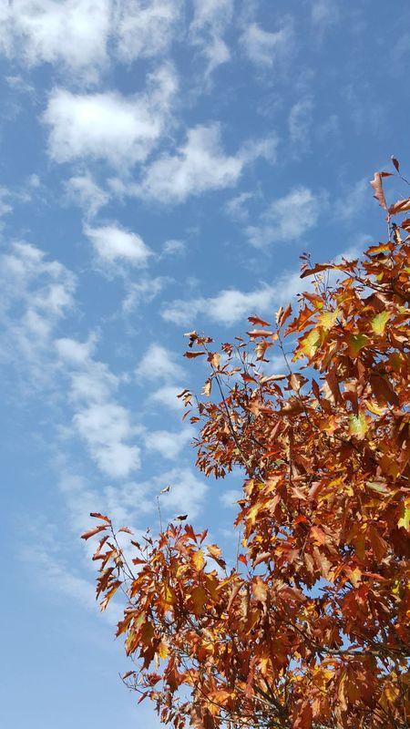Sky Cloud - Sky No People Day Nature Tree Outdoors Autumn🍁🍁🍁 Autumn Colors Autumn Leaves Skyporn Sky And Clouds Autumn Contrast Blue Sky And Clouds Orange Color Orange Leaves