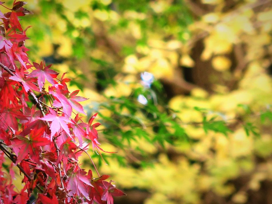 Leaf Nature Growth Beauty In Nature Autumn Change Freshness Plant Outdoors Fragility No People Day Maple Leaf Tree Enkakuji Kamakura Deep Autumn Close-up