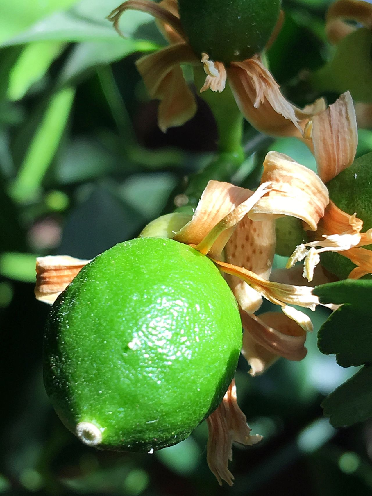 Fruit Baby Meyer Lemons Meyer Lemon Tree Meyer Lemon Blossom Meyer Lemon Meyer Lemons Lemon Tree Lemons Baby Lemons Fruit Blossom Blossom Blooming Tree Container Gardening Organic Food Gardening Citrus Tree Citrus  Fruit Tree Tree Fragrance Food Blooming Green IPhone Green Color Growth Lemon Focus On Foreground Close-up Freshness Citrus Fruit Food And Drink Nature Tree Leaf Beauty In Nature Outdoors No People Healthy Eating Day