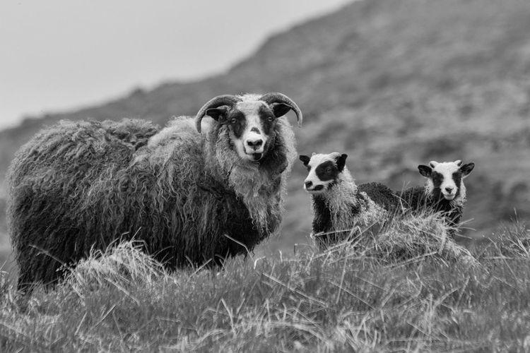 Bnw_friday_eyeemchallenge BNW_farm_animals Domestic Animals Sheep