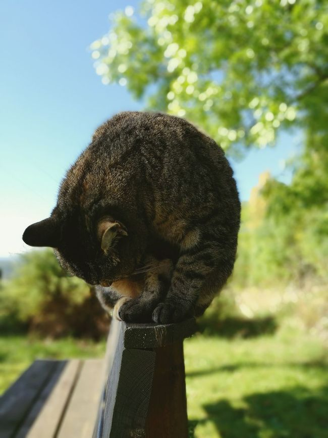 Cat = ball mc^2 No People Animal Cat Lovers Zoology Sky Resting Outdoors Whisker Cats Chillaxing Day Feline Relaxation One Animal Domestic Cat Pets Domestic Animals Focus On Foreground Cat Mammal Animal Themes Norge Norway🇳🇴 Wooden Cats Of EyeEm