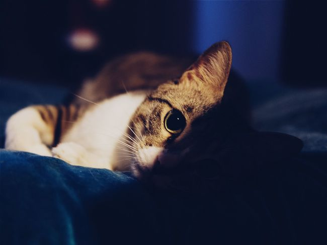 Pets Cat Close-up Whisker Curiosity Relaxation Domestic Cat Indoors  Cushions  Round Eyes Focus On Foreground Feline Looking Into You Bestfriend Cuddles Late Night Sleep Time Fujifilm_xseries Fuji Xpro2 Fujifilm X-pro2 35mm F2 Home Interior Eyeem Animal Lovers EyeEm Gallery X-PRO2