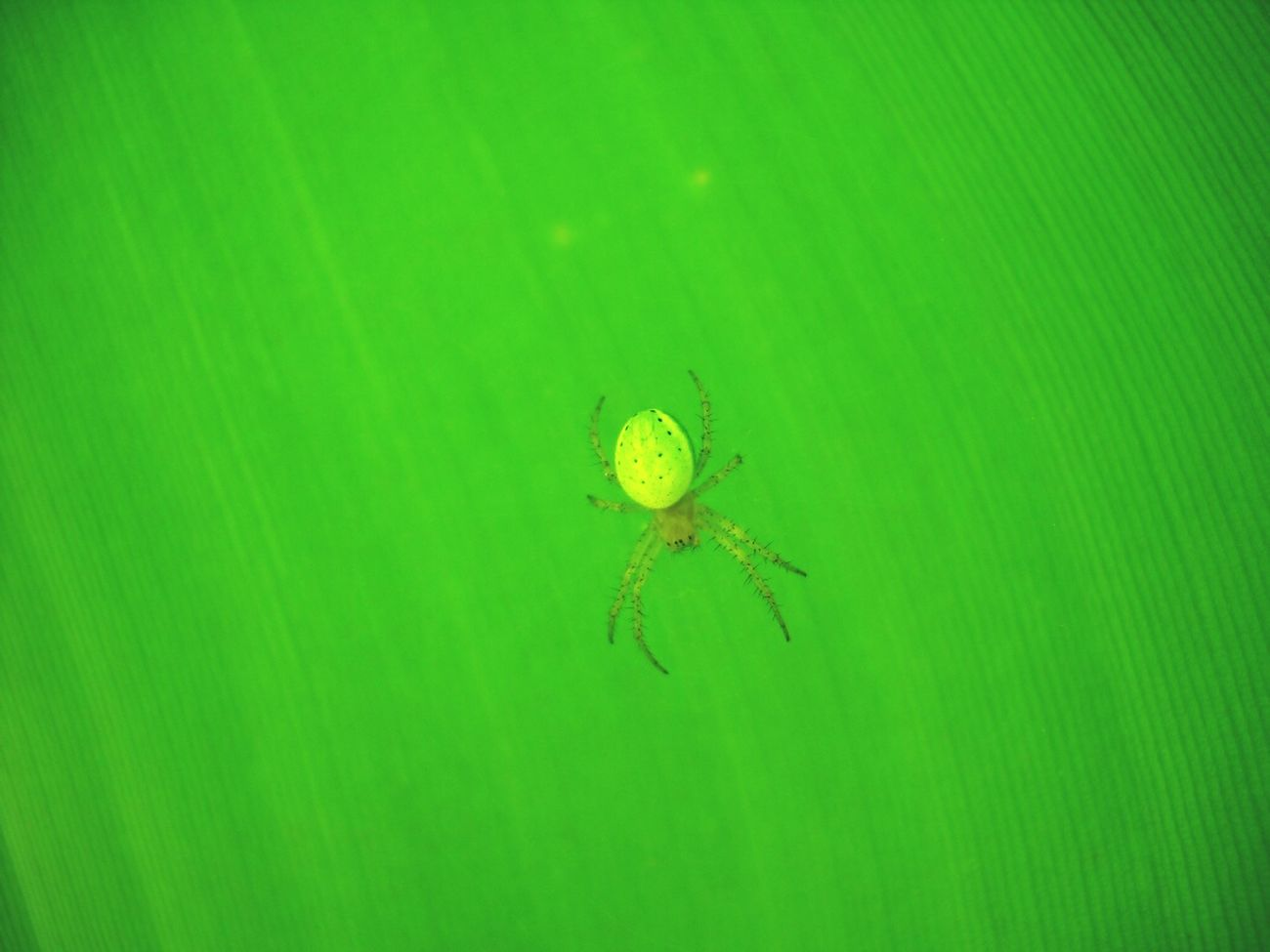 Mimetism Green Leaves Spiders