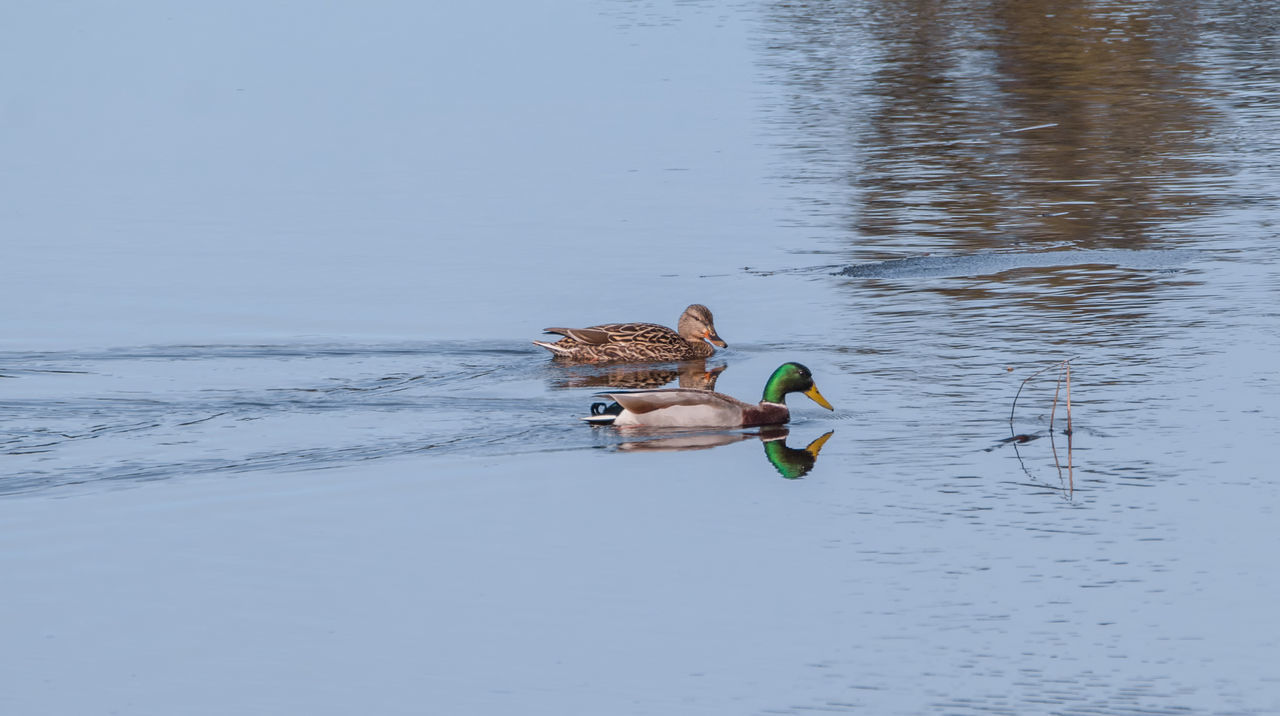 Animal Themes Animal Wildlife Animals In The Wild Bird Bird Photography Cohabitation Couple - Relationship Day Habitat Lake Male And Female Birds Mallard Duck Mallard Duck In Water Mallard Ducks Nature Ontario, Canada Outdoors Pairs Of Birds Splashing Water Spring Mating Season Springtime The Week On EyeEm Water Water Foul Wildlife