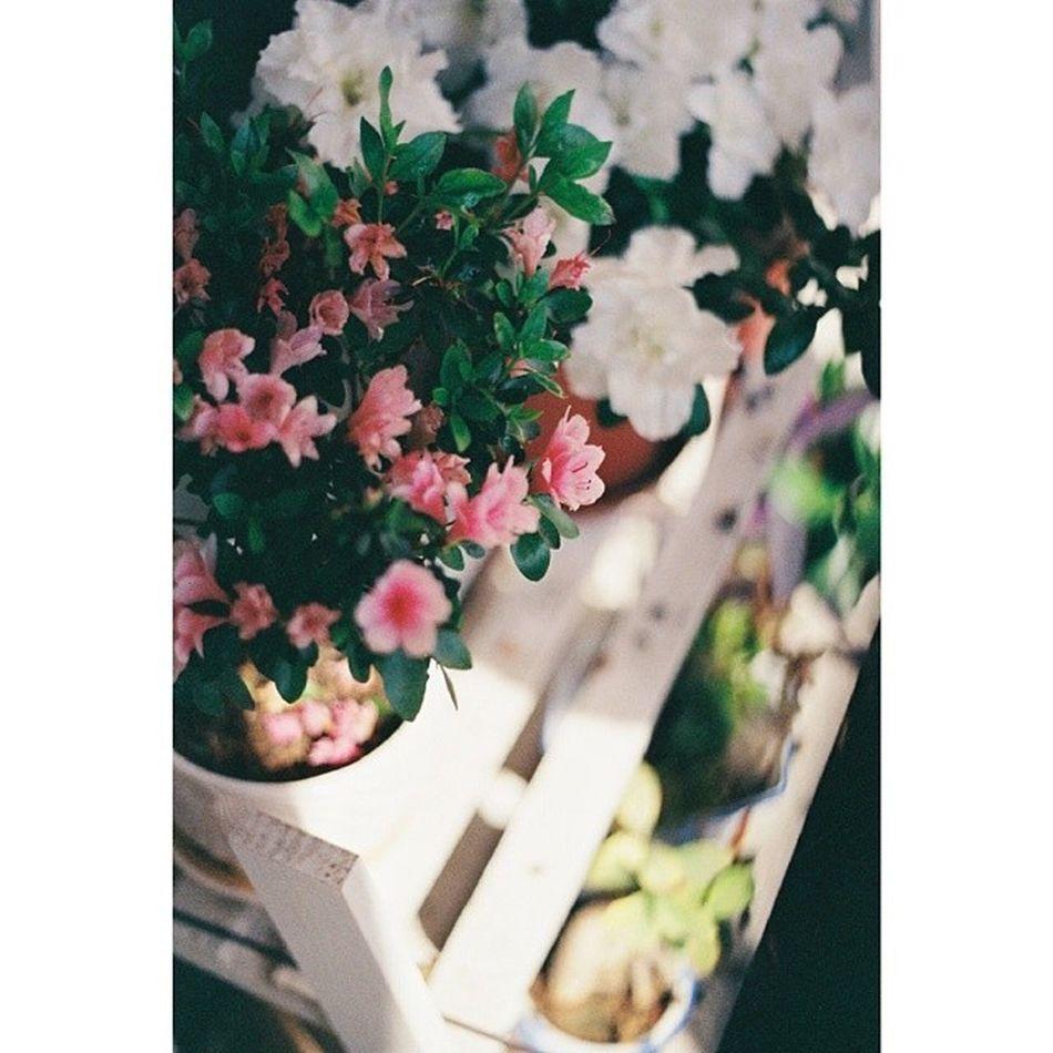 花朵 美能达x370 胶片 Flowers