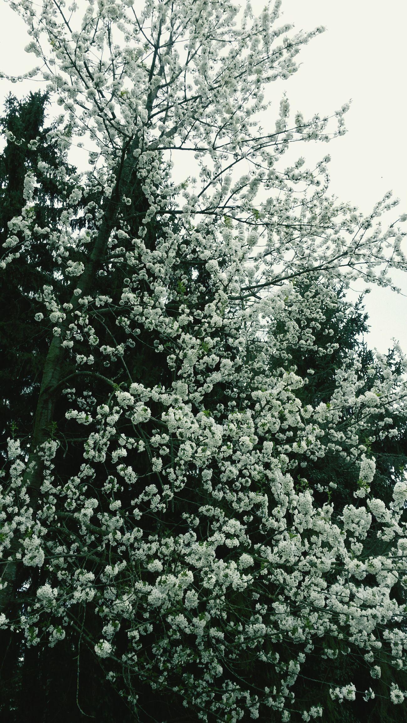 Garden Tree Flowers Cerisier en fleurs