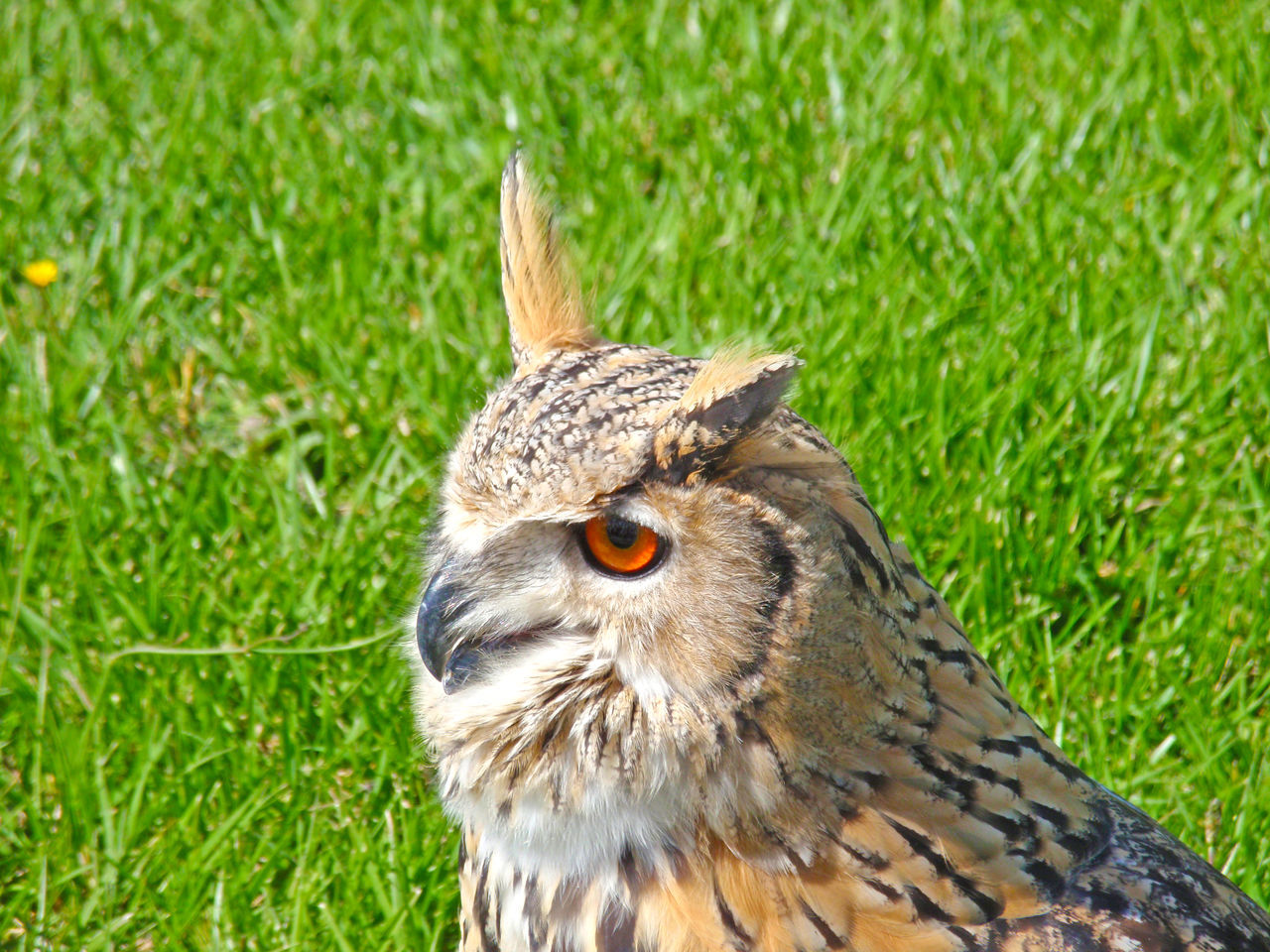 Animal Animal Themes Animal Wildlife Animals Animals In The Wild Beauty In Nature Bird Bird Of Prey Birds Bubo Bubo Day Environment Falconry Fauna Grass Nature Nature No People One Animal Outdoors Owl Owl Eyes Owls Wildlife