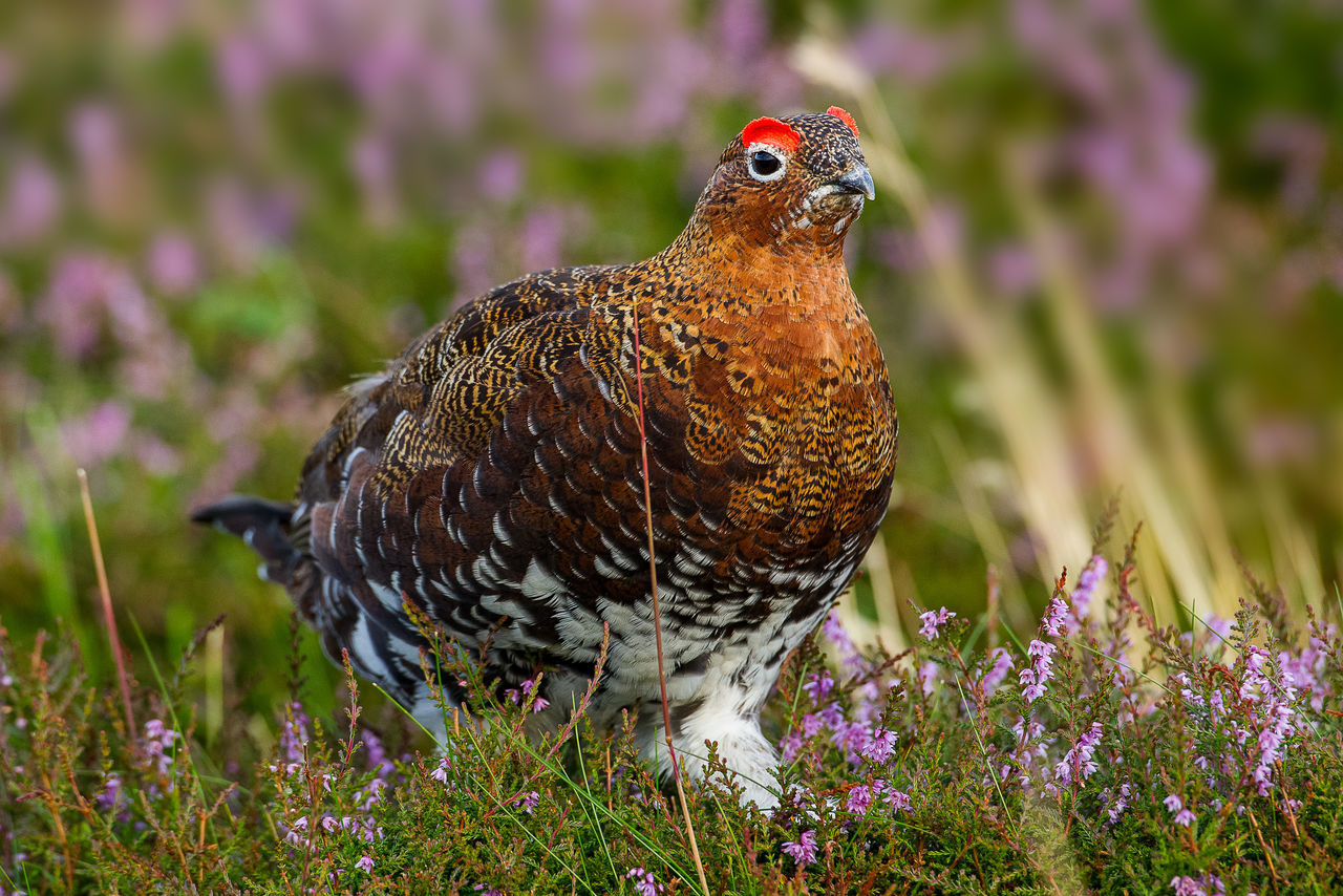 Red Grouse with flowerin heather Lagopus Lagopus Scotica Animal Themes Beauty In Nature Flower Nature No People Pink Color Red Grouse