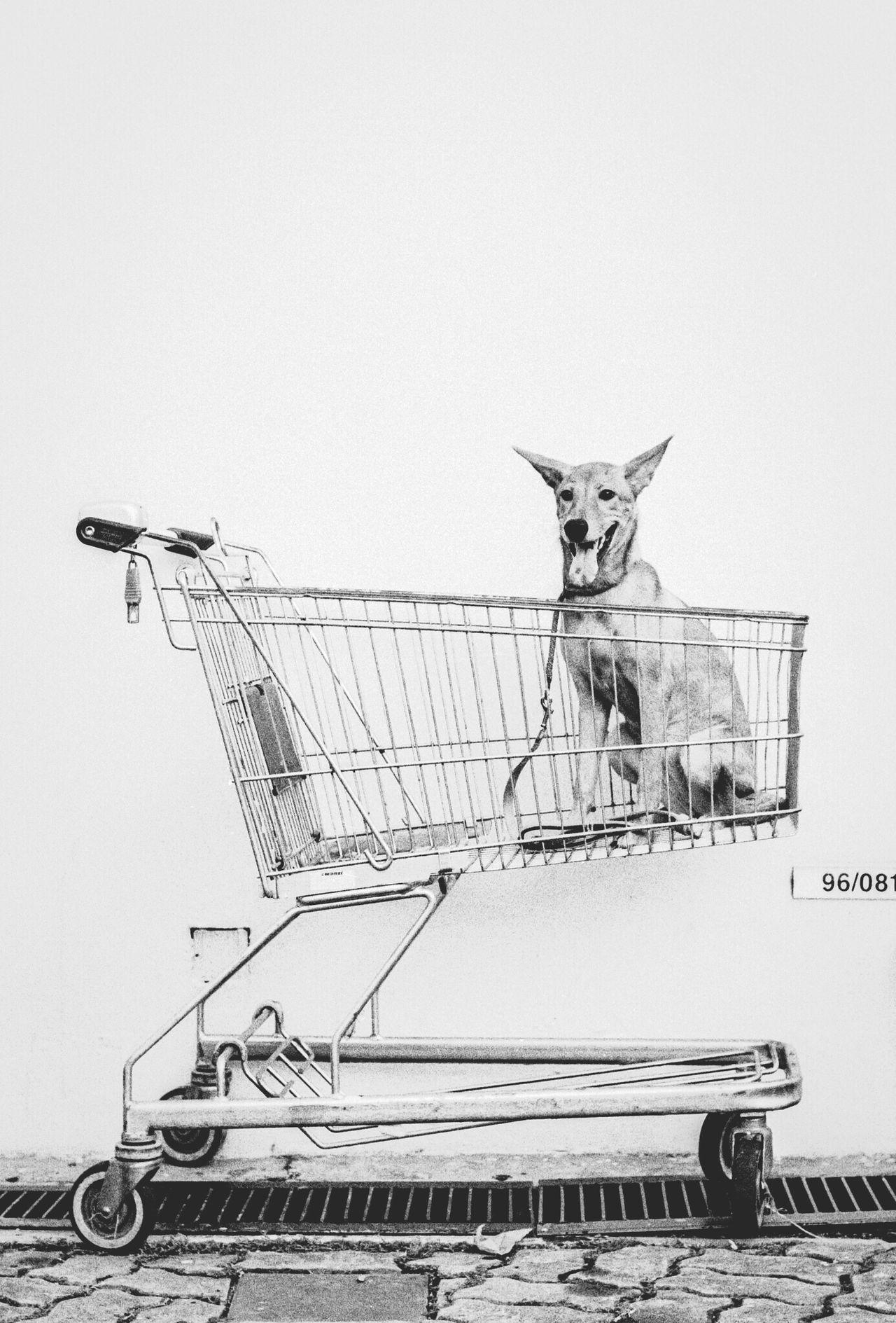 Beautiful stock photos of shopping, Animal Themes, Dog, Domestic Animals, Front View