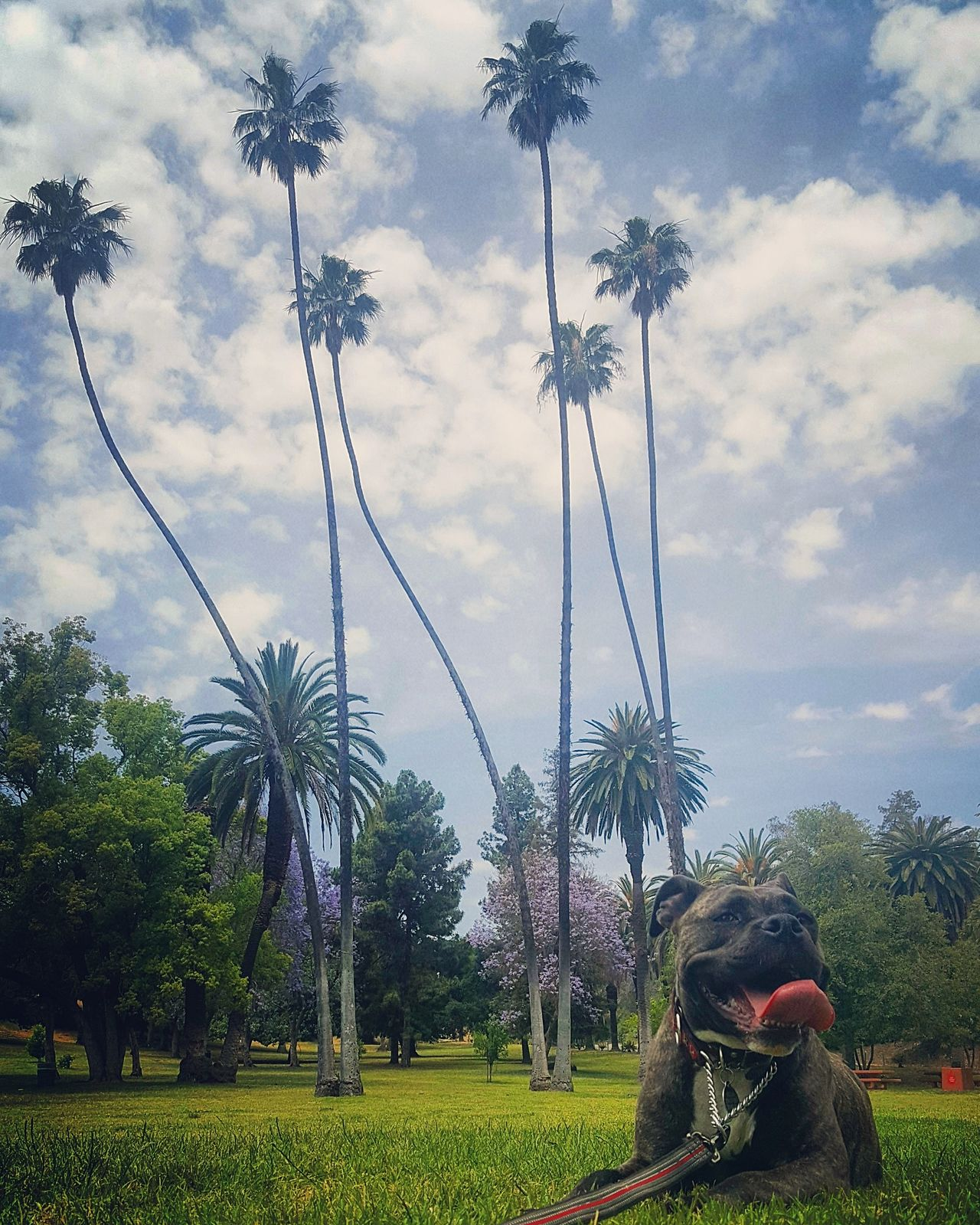 Los Angeles, California Outdoors Nature Dogs Dogslife Dog Palm Tree Pet Photography  Pets No People Rescuedog Elysian Park Mutts AmericanBulldog