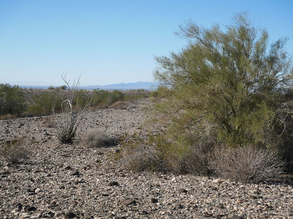 Desert plant life Arizona Clear Sky Creosote Creosote Bush Day Desert Desert Life Growth Landscape Nature No People Ocotillo Outdoors Sky Tranquil Scene Tranquility Tree