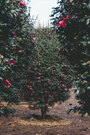 ASIA Camellia JEJU ISLAND  Jeju Korea Background Beauty In Nature Branch Close-up Day Flower Freshness Growth Landscape Nature No People Outdoors Park Plant Red Tree