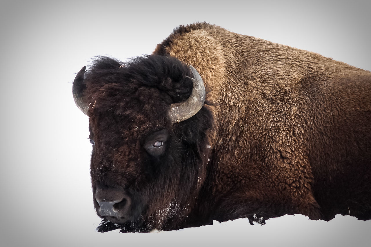 Bison in snow American Bison Animal Animal Body Part Animal Themes Animal Trunk Animal Wildlife Animals In The Wild Bison Bison In Natural Environment Close-up Day Mammal No People One Animal