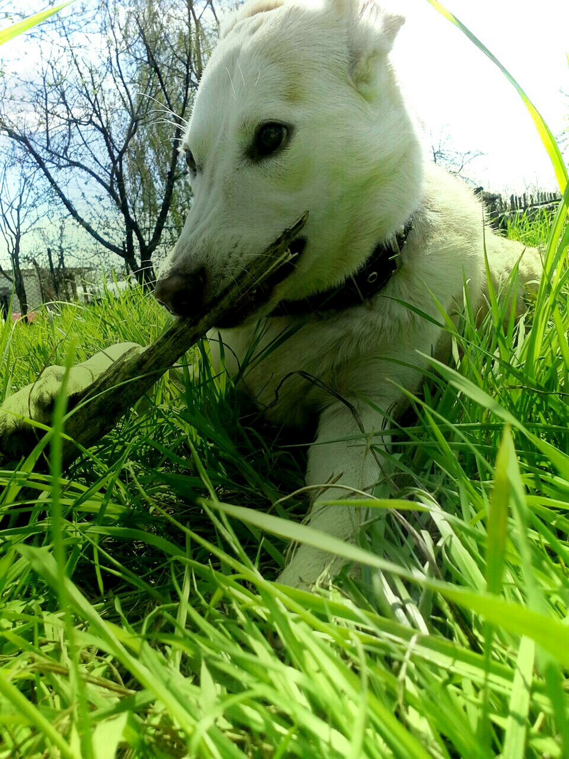 animal themes, one animal, grass, domestic animals, mammal, close-up, field, green color, animal head, pets, grassy, animal body part, dog, nature, growth, white color, no people, day, wildlife, outdoors