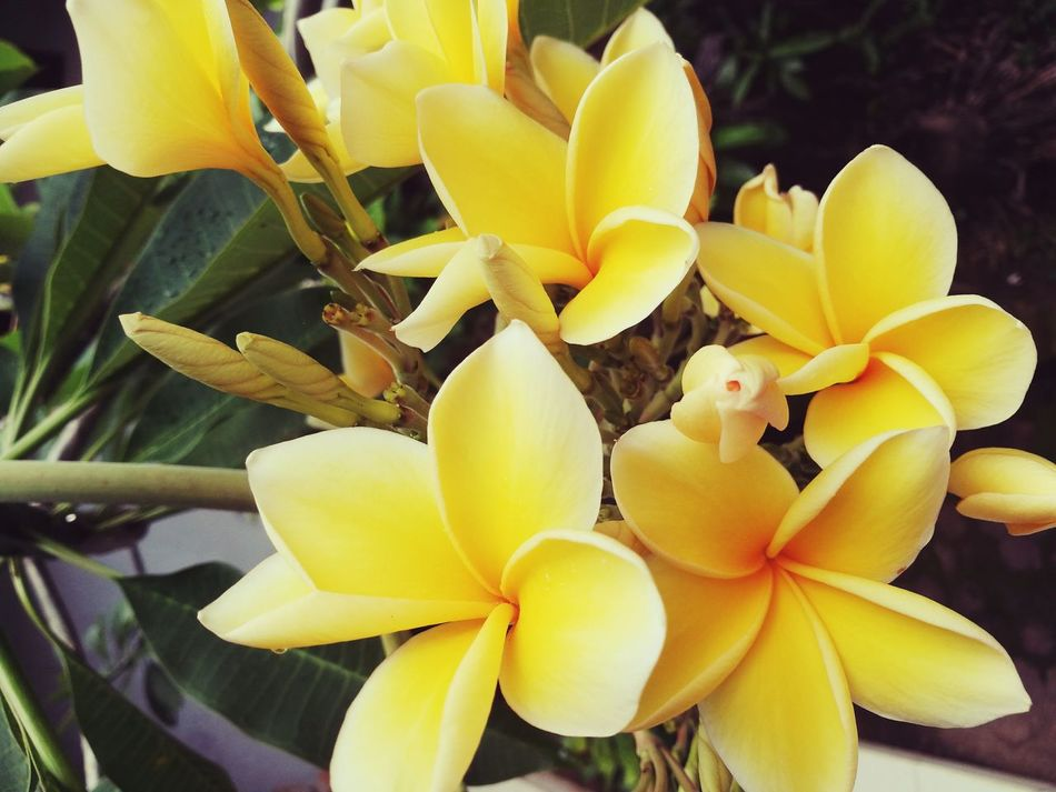 Frangipani Fragility Smell Of The Memories Indonesian Photographers Collection Bali, Indonesia Beauty In Nature In Love With This Place Tropical Paradise Simplistic Beauty Love ♥ HuaweiP9
