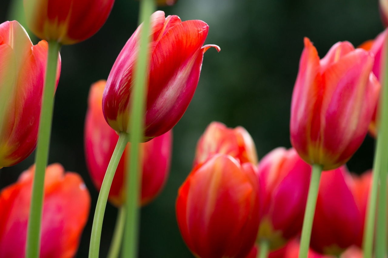 Hd Wallpaper Wallpaper Tulips