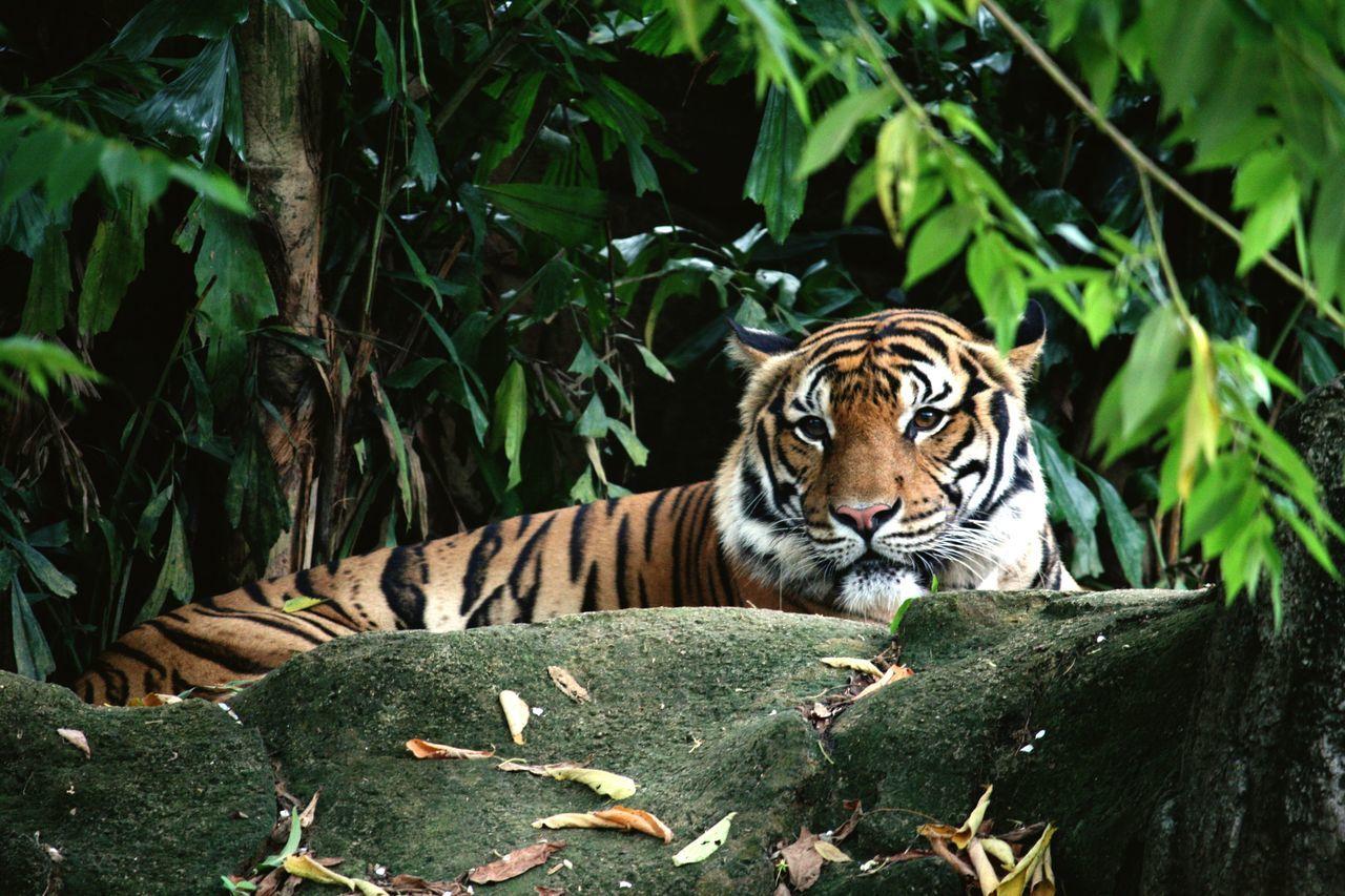 Tiger Malayantiger