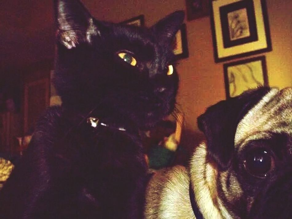 Hanging Out jet and stewie Best Friends we can all get along Opposites Attract Taking Photos Check This Out Enjoying Life Natural Beauty Light And Dark Dog Expressions CatPicturing Individuality Black Is Beautiful Pug Life  American Short Hair