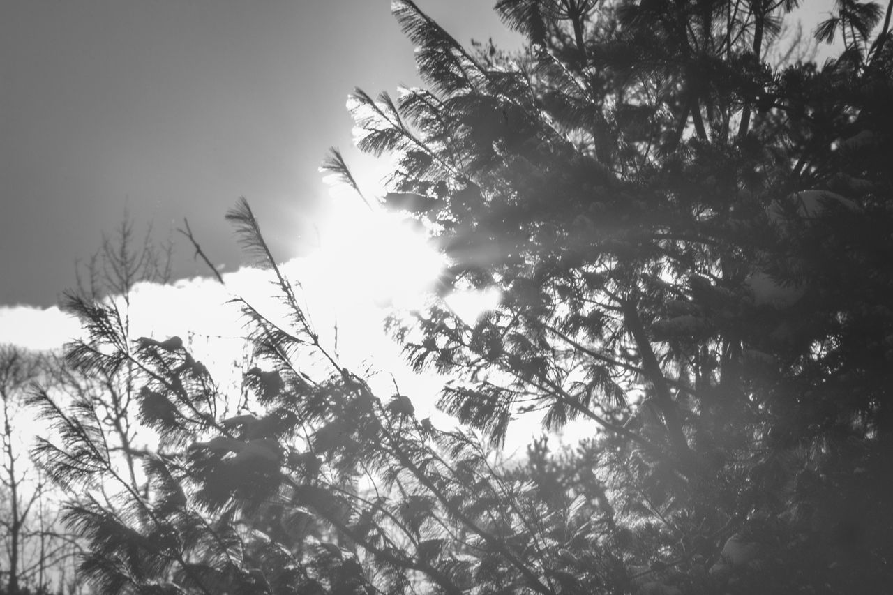 B&w B&w Photography Blackandwhite Photography Burst Evergreen Trees Flare Light Light And Shadows Lookingup Sky Sky And Clouds Skyward Solar Sun And Clouds Sun And Sky Sun Burst Sun Flare Sun Through The Trees Sunburst Sunbursts Sunny Sunset Silhouettes Sunset_collection Tree Tree Silhouette