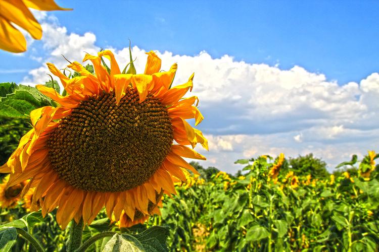 Blooming Flower Nature Petal Single Flower Sky Sunflower Yellow