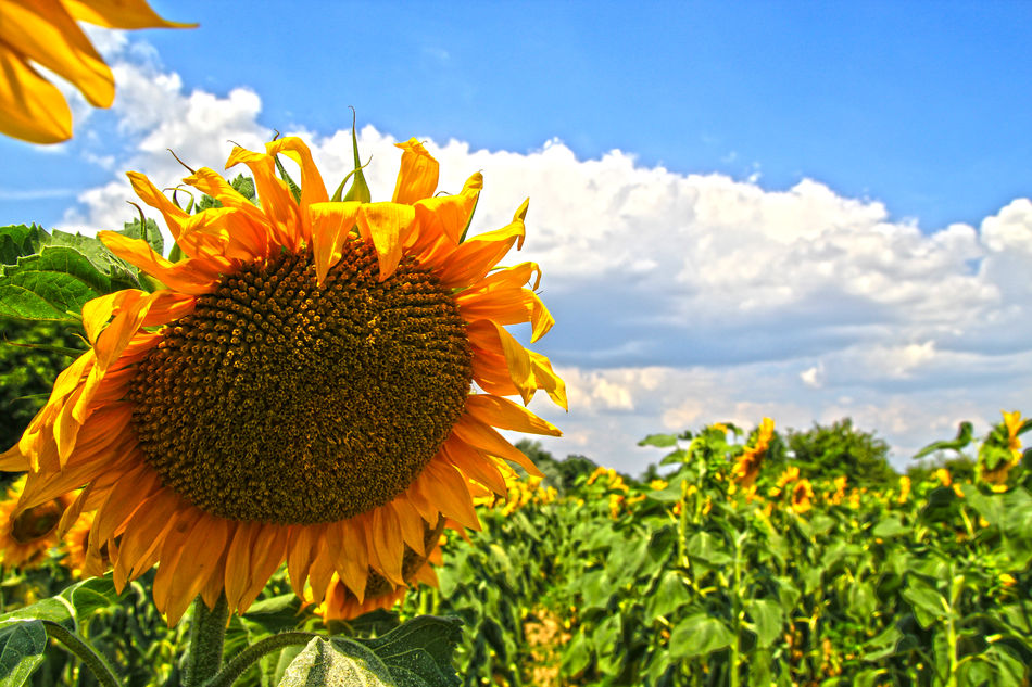 Beautiful stock photos of sunflower, Beauty In Nature, Blooming, Close-Up, Cloud - Sky