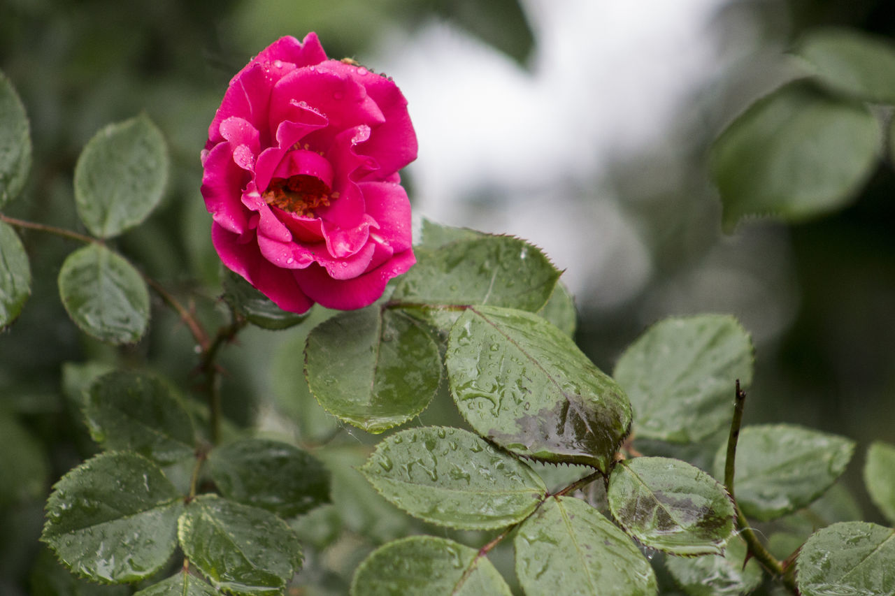 Beauty In Nature Blooming Close-up Day Flower Flower Head Focus On Foreground Fragility Freshness Growth Leaf Nature No People Outdoors Periwinkle Petal Pink Color Plant Rose - Flower Water Red Rose After Rain RainDrop Wet Drop