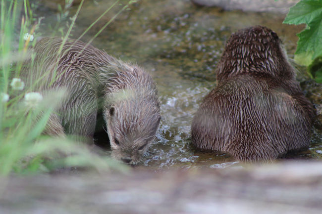 Animal Animal Behavior Animal Hair Animal Themes Animals In The Wild Day Focus On Foreground Herbivorous Lutrinae Lutrinae Mammal Nature Otter Otter Otters Pair Of Otters Selective Focus Tail Two Animals Wildlife Zoo Zoology
