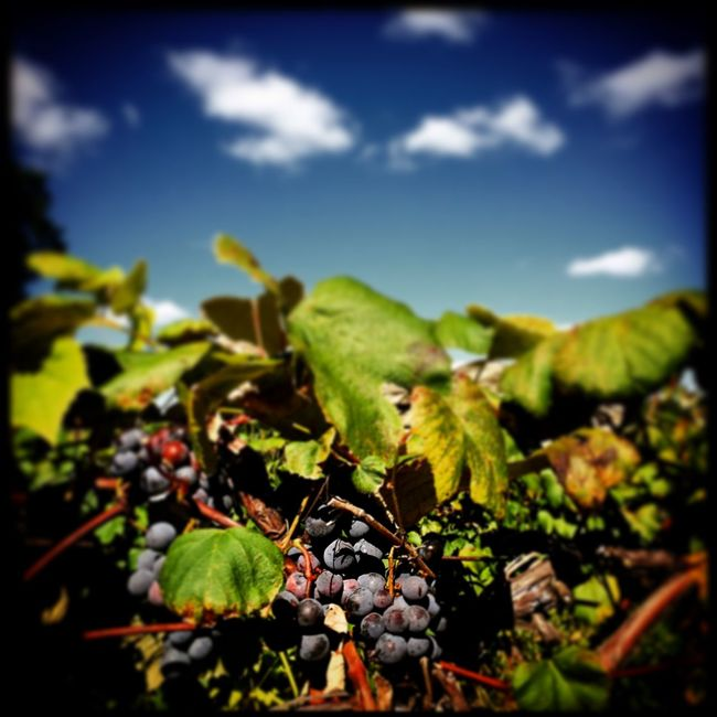 Vineyard in Oronoko Township, Michigan. Check This Out EyeEm Best Shots EyeEm Nature Lover Wine Vineyard Sun Sky