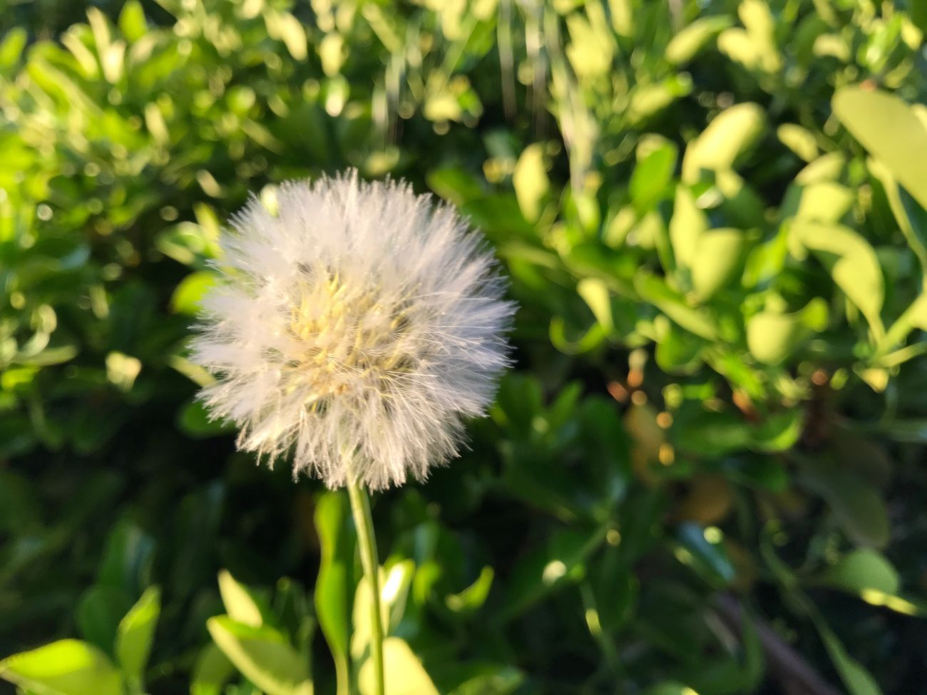 Flower Nature Growth Fragility Dandelion Flower Head Plant Beauty In Nature Freshness Focus On Foreground Day Close-up Outdoors No People Blooming