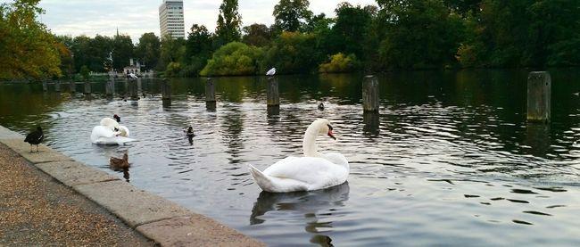 Explor Discover Pursue Traveling Journey London Hidepark Kennsingtongardens Morning Beautiful Swan