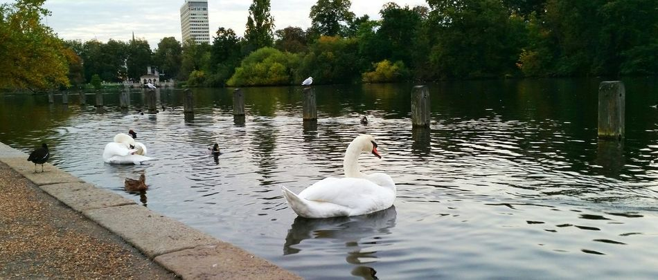 Explor Discover Pursue Traveling Journey London Hidepark Kennsingtongardens Morning Beautiful Swan