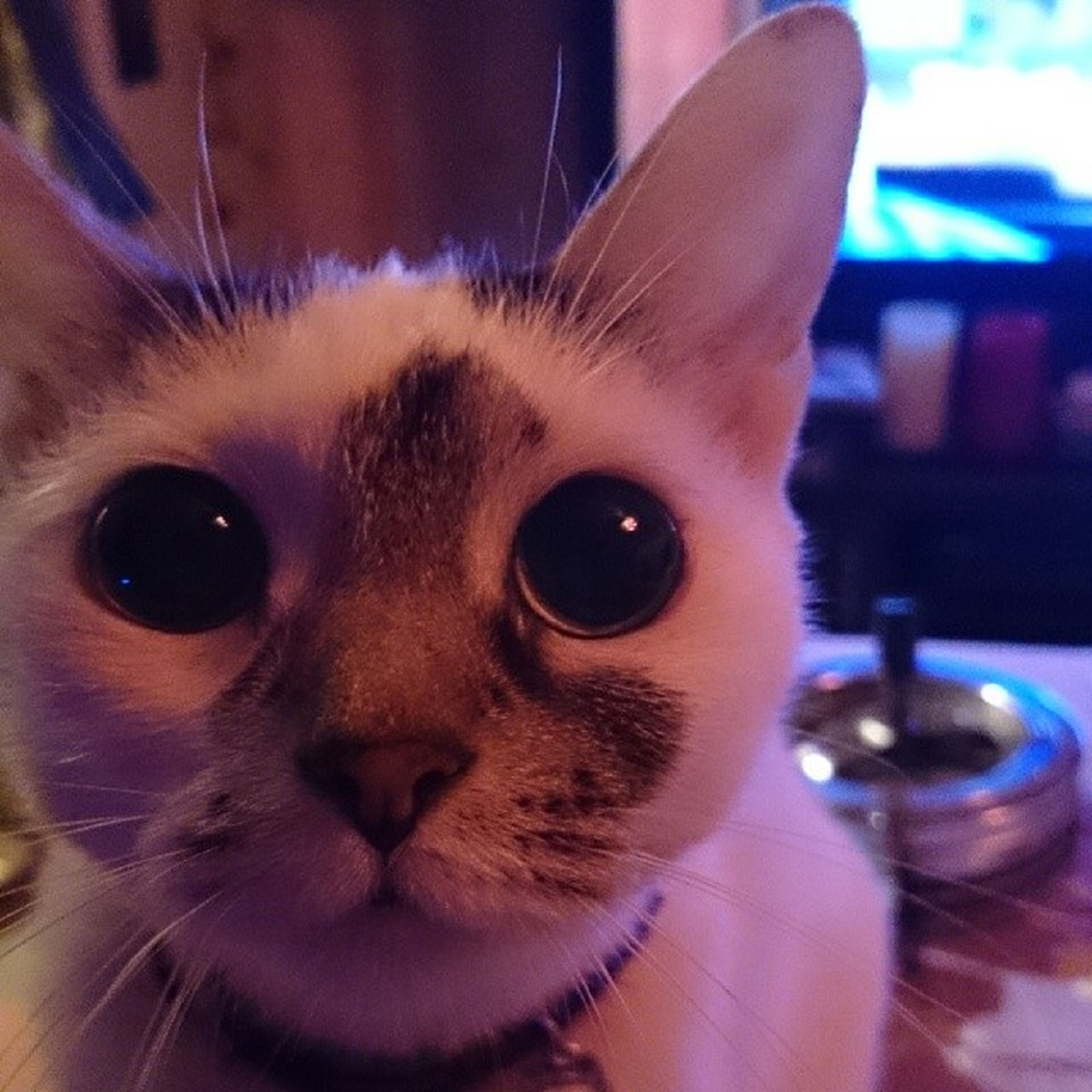 pets, domestic animals, one animal, animal themes, domestic cat, indoors, cat, looking at camera, portrait, mammal, whisker, feline, close-up, animal head, focus on foreground, animal eye, staring, part of, home interior, alertness