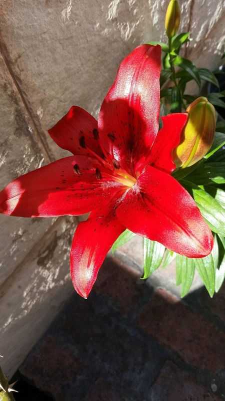 Light And Shadow Nature Petal Flower Red Beauty In Nature Growth No People Flower Head Outdoors Freshness Plant Day Flowers,Plants & Garden Garden Photography Beauty In Nature Nature Lilium Azucena