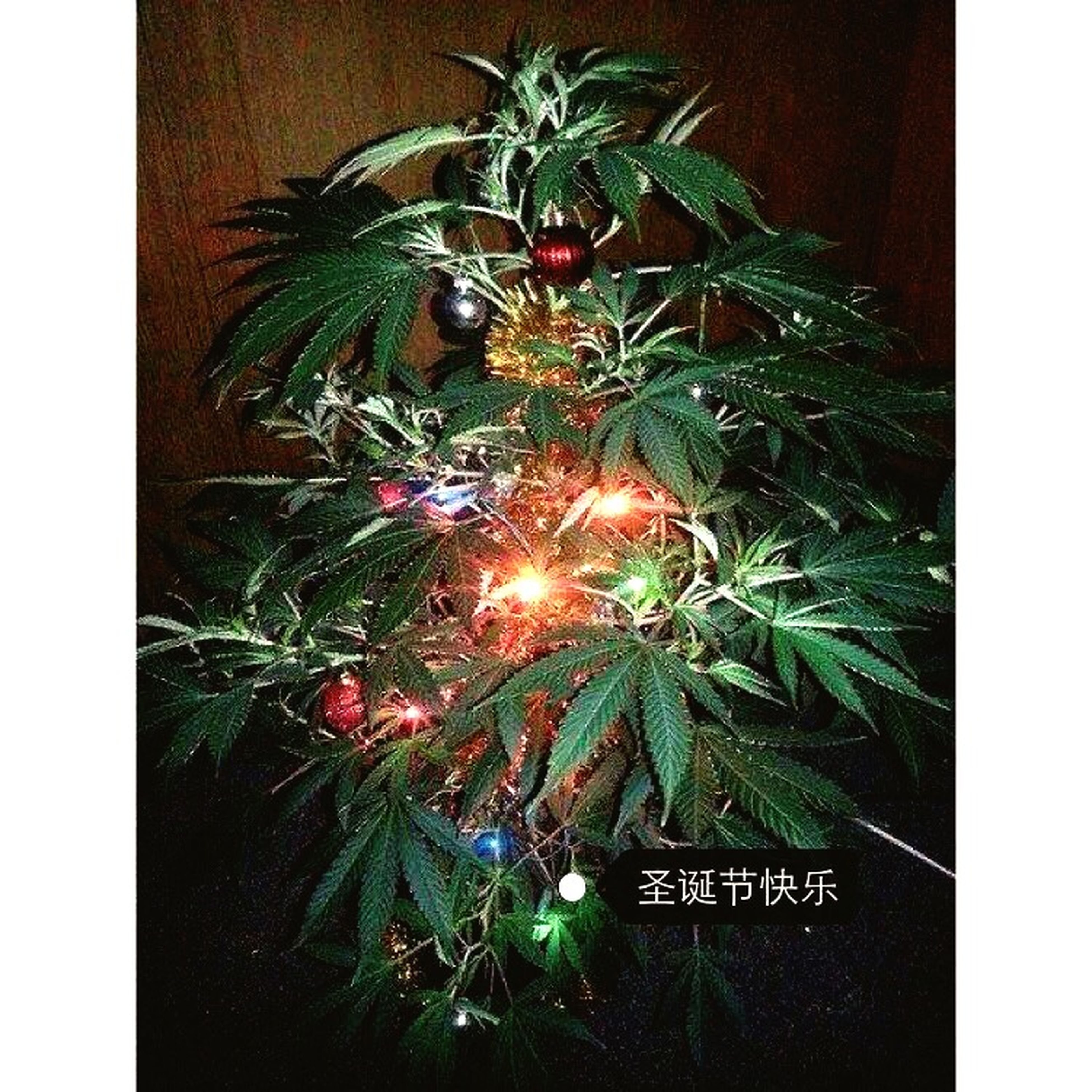 transfer print, auto post production filter, plant, growth, green color, celebration, leaf, potted plant, close-up, no people, illuminated, christmas, night, decoration, front or back yard, outdoors, building exterior, christmas decoration, built structure, house