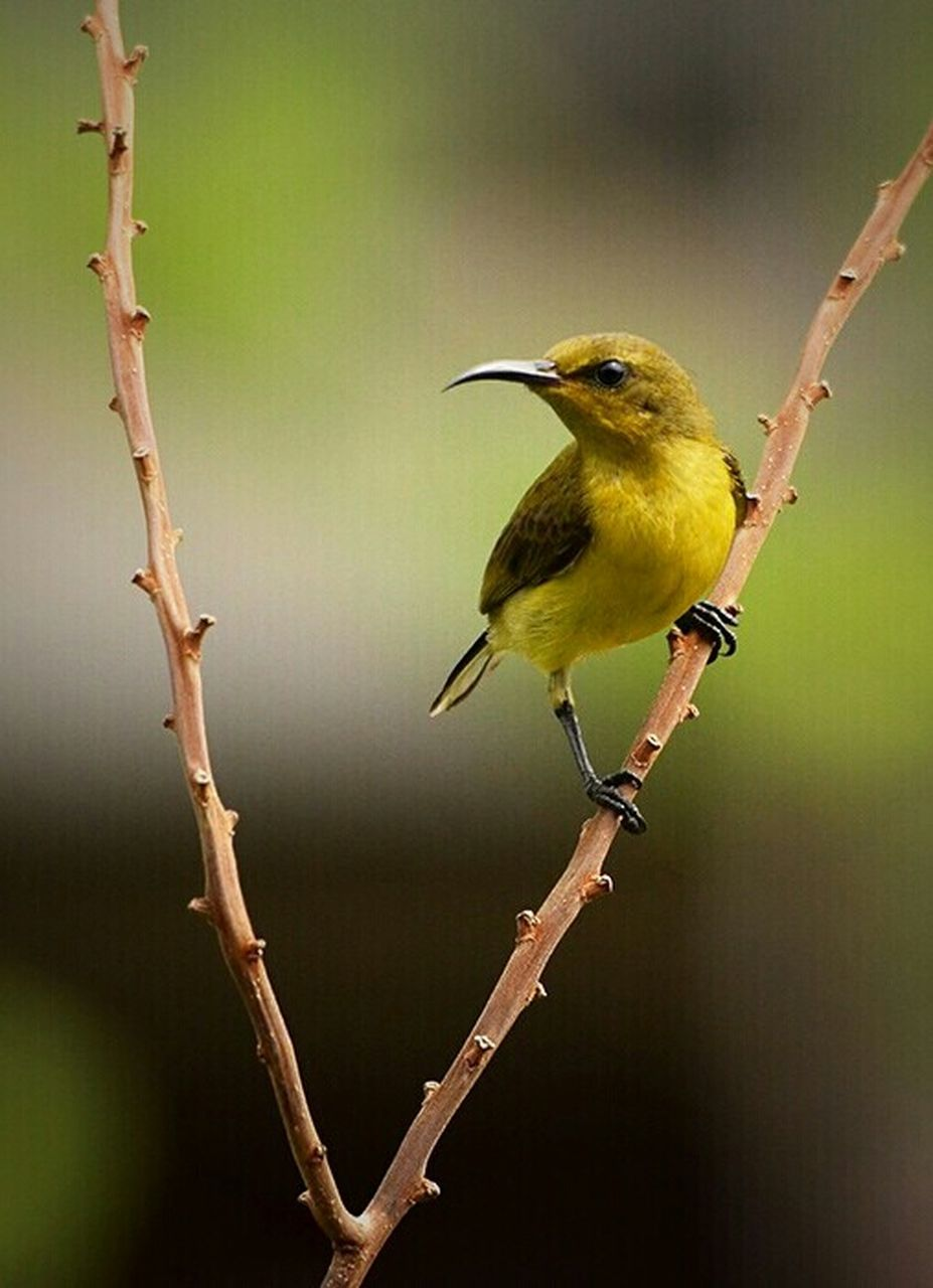 one animal, bird, animals in the wild, perching, animal themes, animal wildlife, branch, twig, nature, kingfisher, tree, beauty in nature, full length, no people, outdoors, day, close-up, great tit