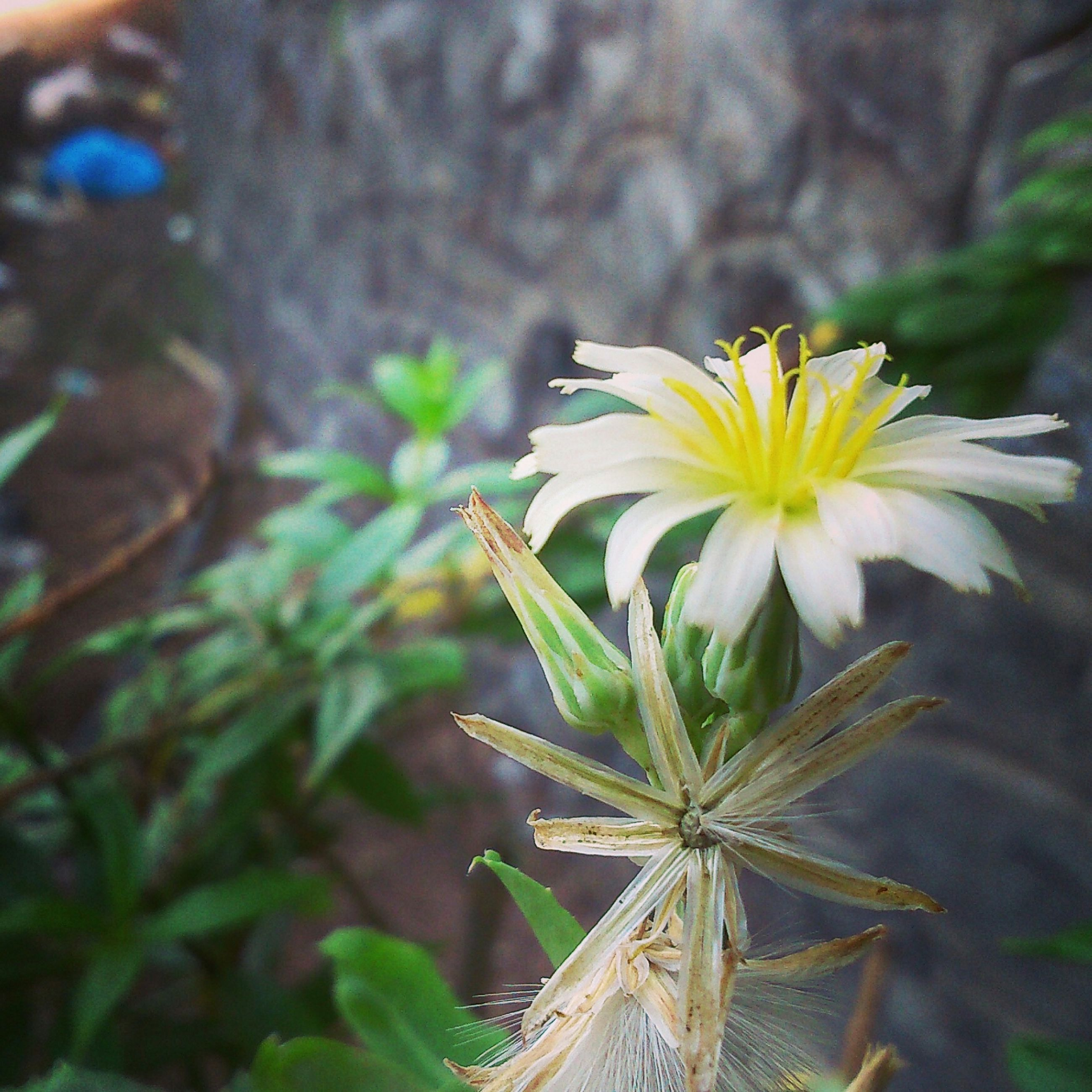 flower, petal, freshness, fragility, flower head, focus on foreground, growth, close-up, beauty in nature, pollen, plant, blooming, yellow, nature, single flower, in bloom, white color, stem, day, outdoors